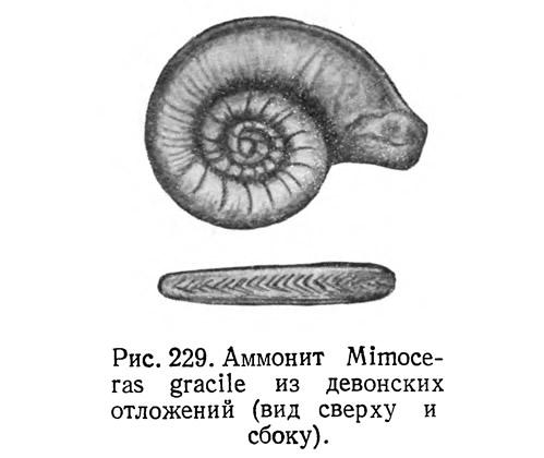 Рис. 229. Аммонит Mimoceras gracile из девонских отложений