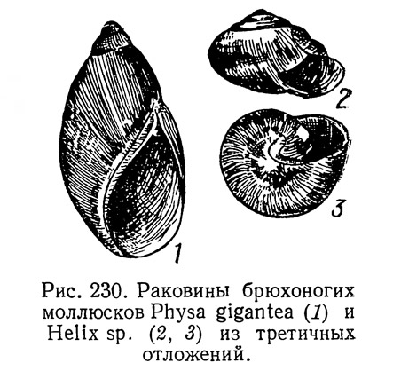Рис. 230. Раковины брюхоногих моллюсков Physa gigantea и Helix sp.