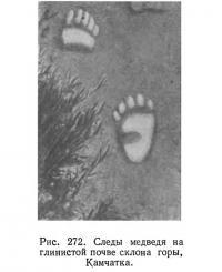 Рис. 272. Следы медведя на глинистой почве склона горы, Камчатка