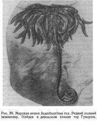 Рис. 39. Морская лилия Acanthocrinus гех. Редкий полный экземпляр