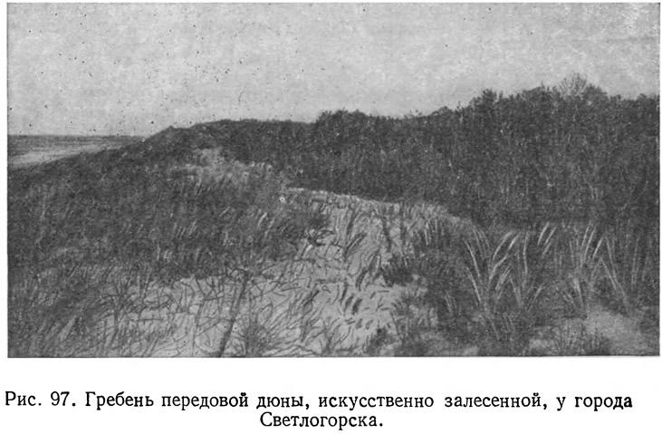 Рис. 97. Гребень передовой дюны, искусственно залесенной